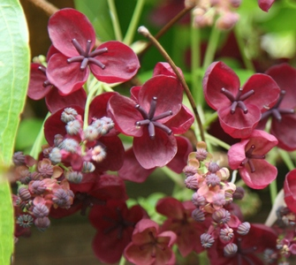 Akebia Quinata (The Chocolate Vine)