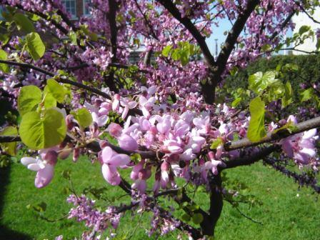 Cercis Siliquastrum (Judas Tree)